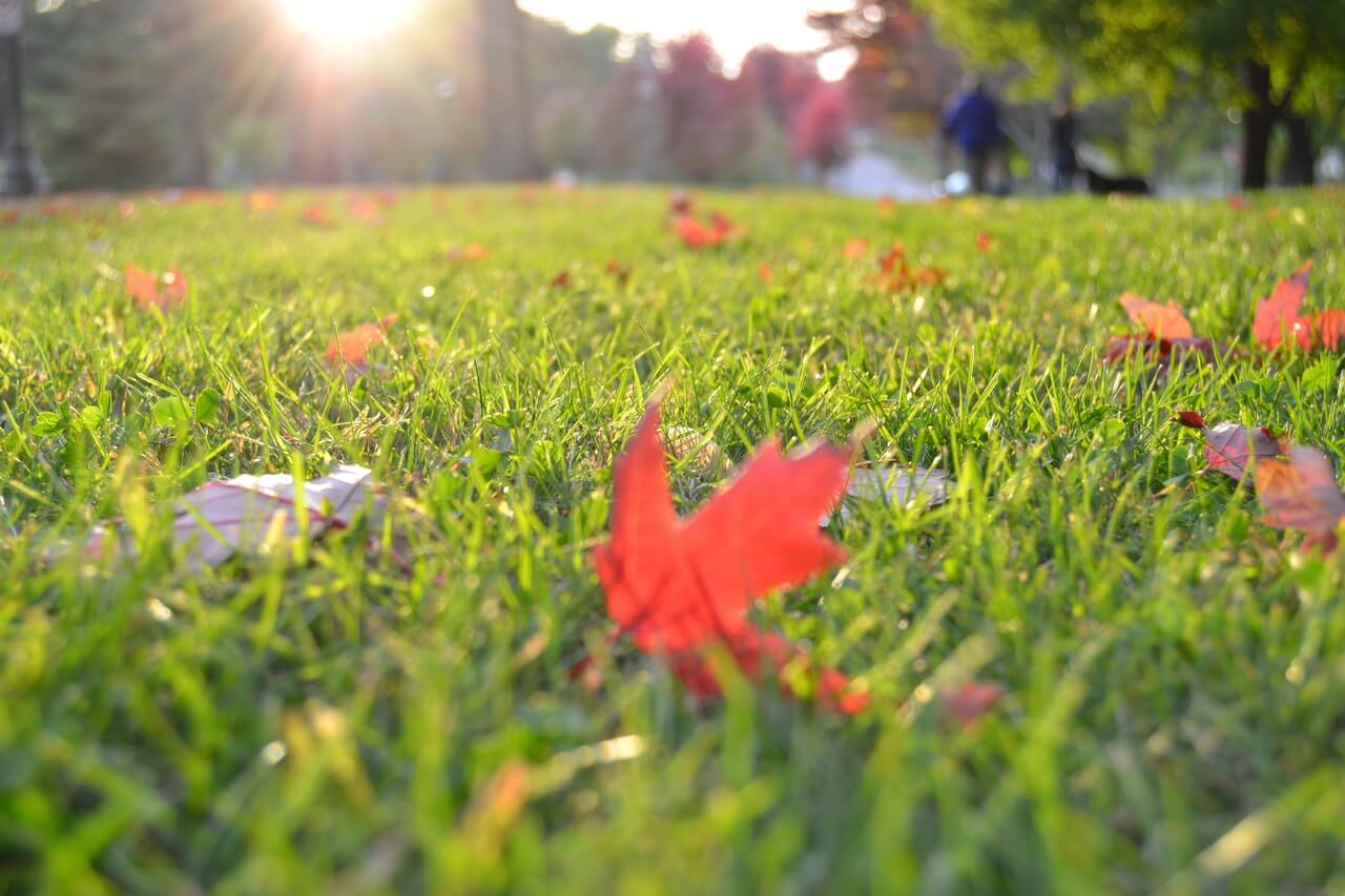 Lawn grass: planting in autumn and care